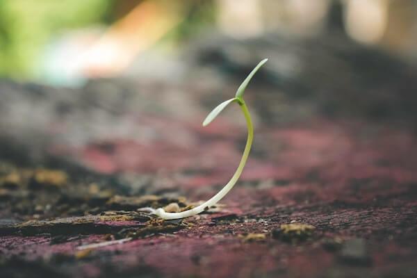 Rebento de uma planta